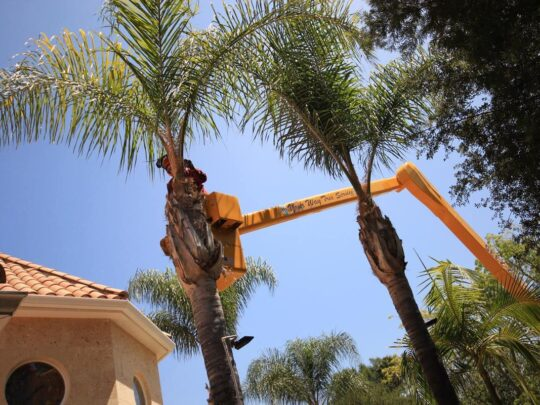 Palm Tree Trimming-Southwest Ranches FL Tree Trimming and Stump Grinding Services-We Offer Tree Trimming Services, Tree Removal, Tree Pruning, Tree Cutting, Residential and Commercial Tree Trimming Services, Storm Damage, Emergency Tree Removal, Land Clearing, Tree Companies, Tree Care Service, Stump Grinding, and we're the Best Tree Trimming Company Near You Guaranteed!